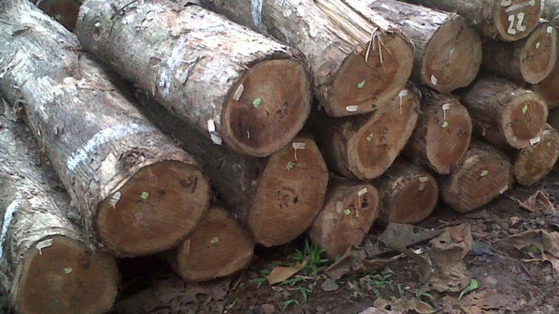 gelondong kayu jati
